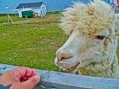 I fed an Alpaca!! lol