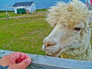 I fed an Alpaca!! lol