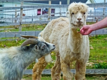 The Alpaca stole poor little Billy Goat's food.