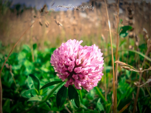 Pink chive