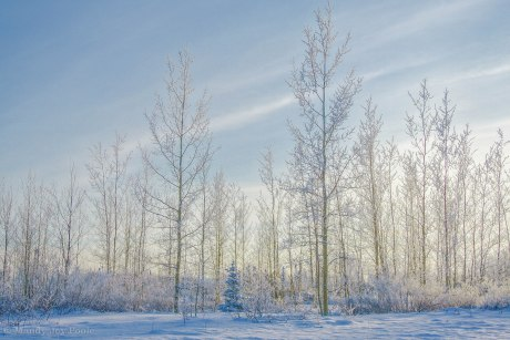 Winter Trees MJP