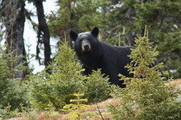 Bear on the Trans Labrador Highway