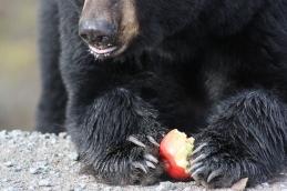 Bear on the Trans Labrador Highway