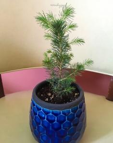 Gordie the blue spruce