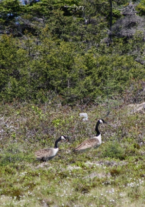 Canada Geese on Canada Day, fitting!