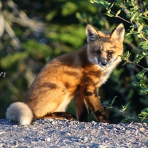 Fox Kit, one of four