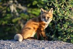 Fox Kit, one of four