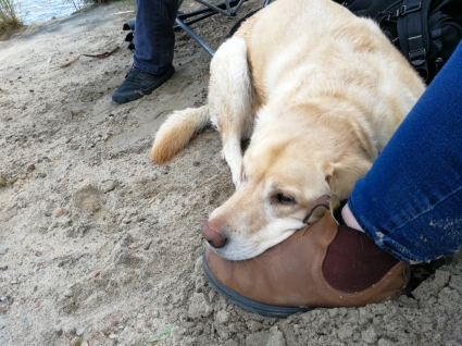 Gracie the camping dog