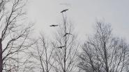 Crow songs
