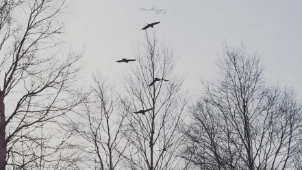 Crow songs