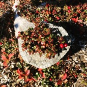 Partridgeberries growing in a tree stump