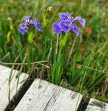 Wild Iris'