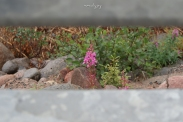 Fireweed between the grates